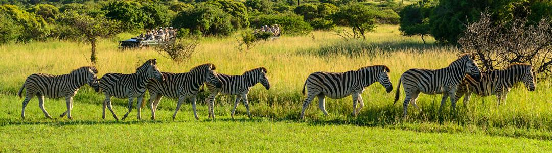 1080-Zebra